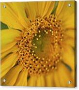 Fall Sunflower Avila, Ca Acrylic Print