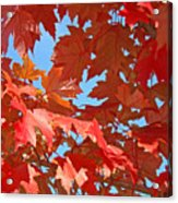 Fall Tree Leaves Red Orange Autumn Leaves Blue Sky Acrylic Print