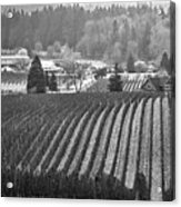Vineyard In Black And White Acrylic Print