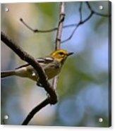 Fall Warbler Acrylic Print