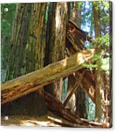 Fallen Redwood Trees Forest Acrylic Print