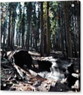 Fallen Sequoia Crescent Meadow Trail Acrylic Print