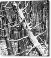 Fallen Tree And Snow Acrylic Print