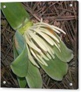 Fallen Tulip Acrylic Print
