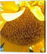 Falling Sunflower Acrylic Print