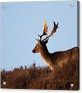 Fallow Buck Acrylic Print
