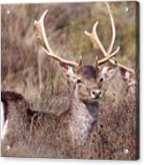 Fallow Deer Buck Acrylic Print