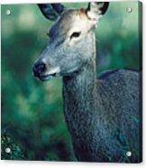 Fallow Deer Fawn Acrylic Print