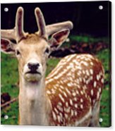 Fallow Deer Portrait Acrylic Print