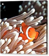 False Clown Anemonefish Acrylic Print by Copyright Melissa Fiene