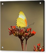 False Dotted Border Butterfly Acrylic Print