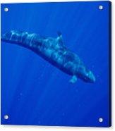 False Killer Whale Acrylic Print