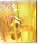 Fame Is A Bee Acrylic Print