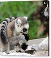 Family Of Lemurs Acrylic Print