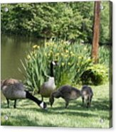 Family Outing Of Geese Acrylic Print