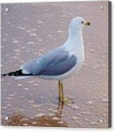 Fancy Gull Acrylic Print