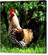 Fancy Rooster Acrylic Print