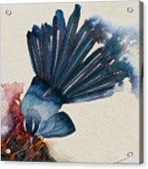 Fantail Flycatcher Acrylic Print