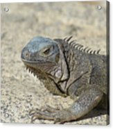 Fantastic Gray Iguana With Spines Along His Back Acrylic Print