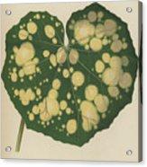 Farfugium Grande  Leopard Plant, Green Leopard Plant Acrylic Print