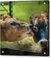 Farm - Cow - Let Mommy Clean That Acrylic Print