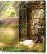 Farm - Geese -  Birds Of A Feather Acrylic Print