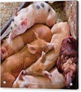 Farm - Pig - Five Little Piggies And A Chicken  Acrylic Print