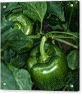 Farming Green Peppers Acrylic Print