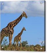 Father And Son Giraffe Acrylic Print