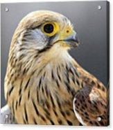 Faucon Crecelle Acrylic Print