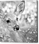Fawn 1 Acrylic Print