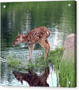 Fawn At The Water Hole Acrylic Print