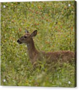 Fawn In A Field Of Flowers Acrylic Print