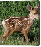 Fawn In The Open Acrylic Print