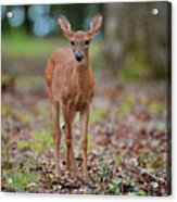 Fawn In Woods At Shiloh National Military Park Acrylic Print