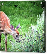 Fawn Visits Flowers Acrylic Print