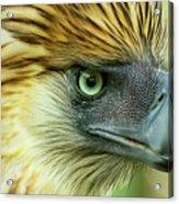 Fearless Philippine Eagle Acrylic Print