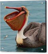 Feasting Brown Pelican  Acrylic Print