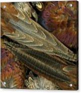 Featherdance Acrylic Print