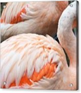 Feathers Of Flamingo Acrylic Print