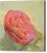 February Camellia Acrylic Print