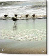 Plundering Plover Series 2 Acrylic Print
