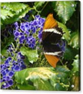 Feeding Butterfly Acrylic Print