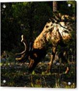 Feeding Elk Acrylic Print