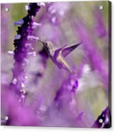 Feeding In The Midst Of Purple 1 Acrylic Print