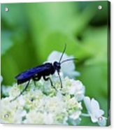 Feeding Insect Acrylic Print