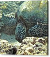Feeding Sea Turtle Acrylic Print