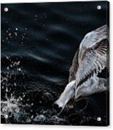 Feeding Seagull Acrylic Print