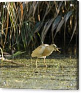Feeding Squacco Heron Acrylic Print