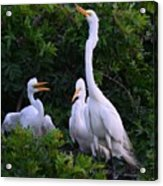 Feeding Time In The Great White Egret Rookery Acrylic Print